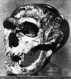 Skull of Neanderthal Man found in 1908 at La Chapelle aux Saints, France