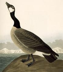 Audubon Canadian Goose