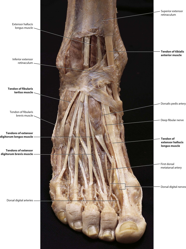 Medical/Anatomy Software - Foot Picture