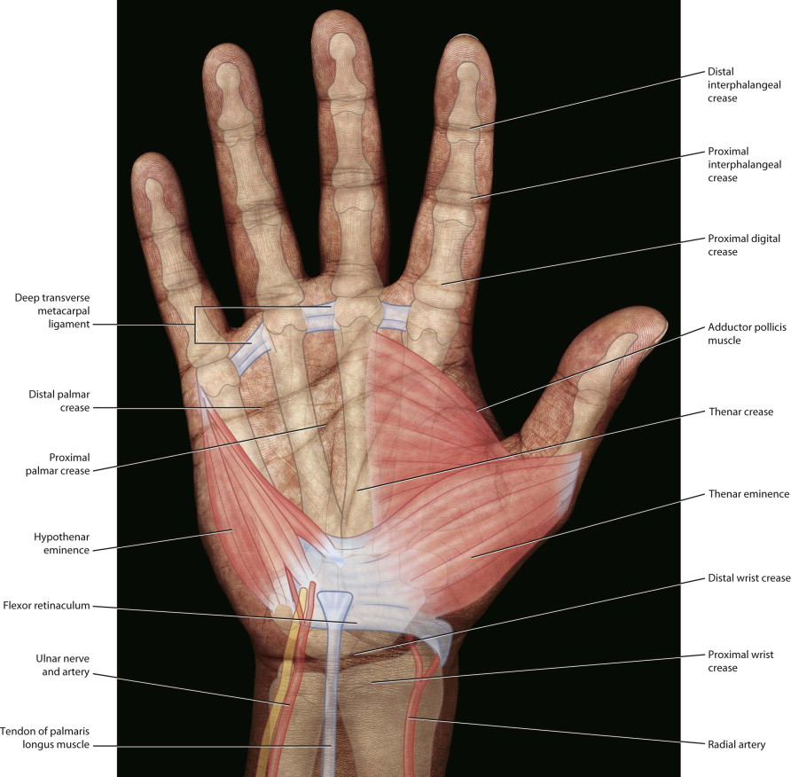 Medical/Anatomy Software - Hand Picture