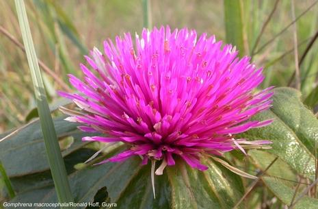 Gomphrena Macrocephala Flower