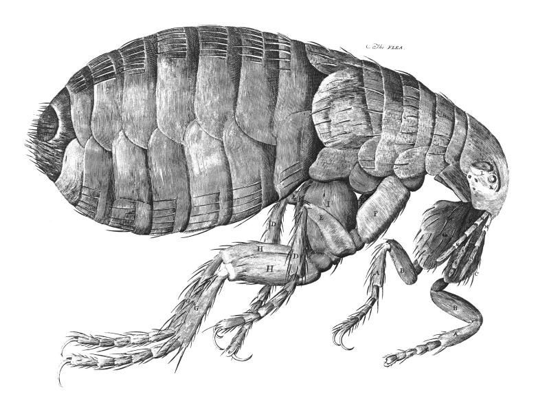 Hooke's drawing of a flea
