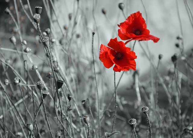 Black and white photo of poppies which are in bright red