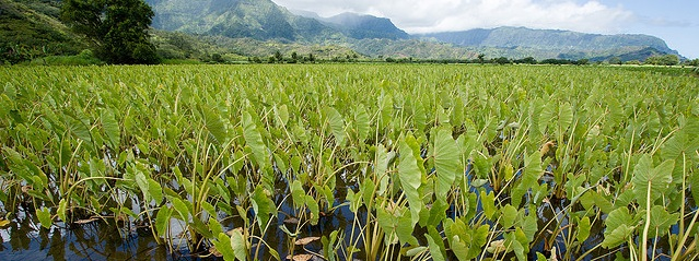 Image of a field of taro.