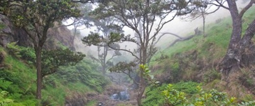 Image of Koa Ohia trees in the Nakula Natural Area Reserve, Maui.