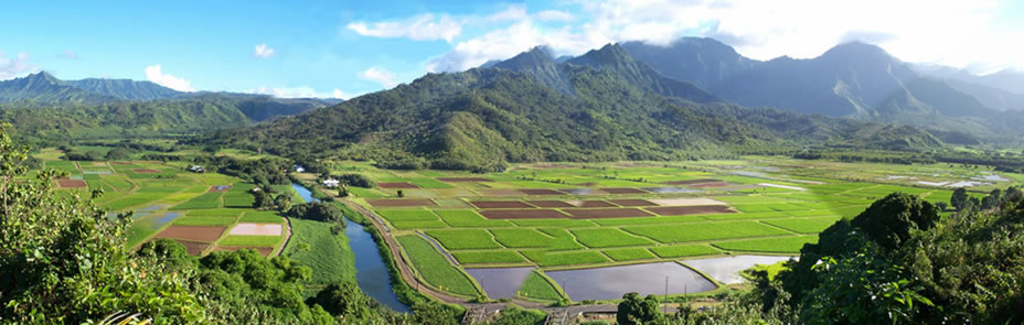Image of Kauai taro patch.