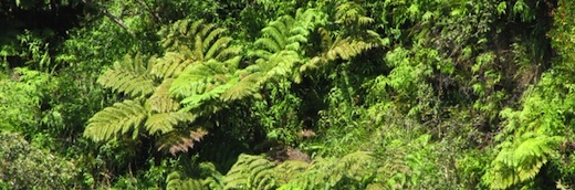 Image of ferns in forest