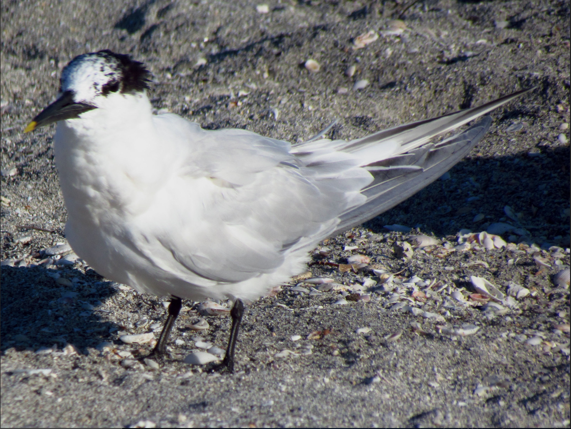 Image of a Cabot's Tern.