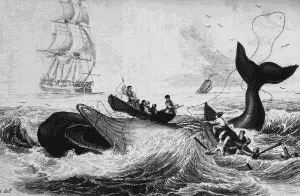 image of men in whale boats harpooning whale