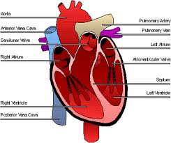Diagramme of heart