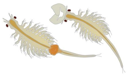 Pair of brine shrimp