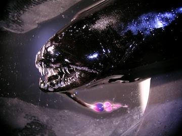 Threadfin dragonfish, freshly caught