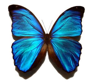 Blue morpho butterfly male
