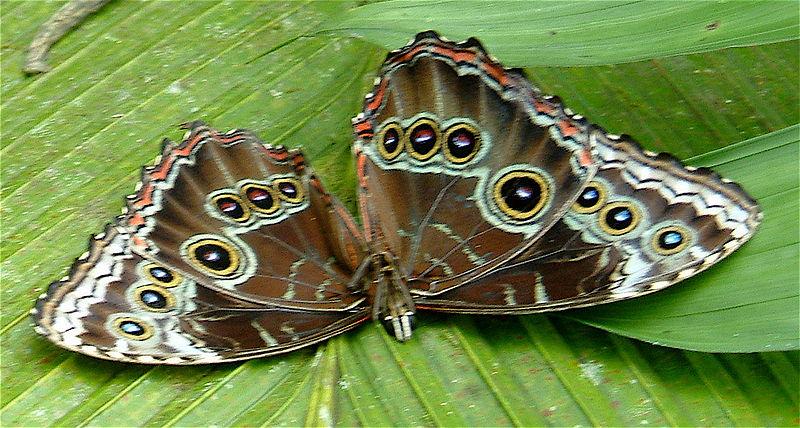 Blue morpho butterfly male underside