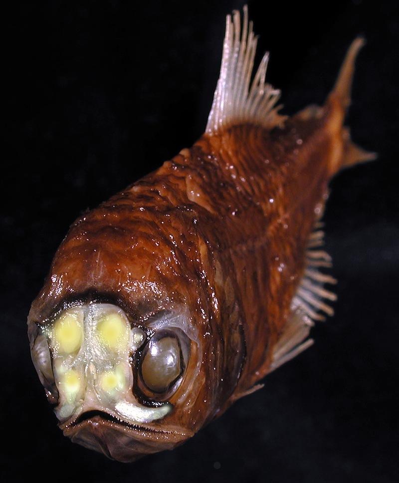 Spothead lanternfish