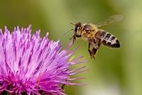 HOneybee approaching thistle flower