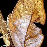 camouflaged katydid on leaf