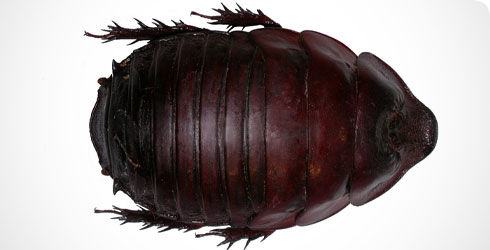 Ancient cockroaches looked very much like this modern one