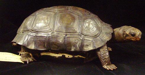 Picture of Darwin's pet tortoise