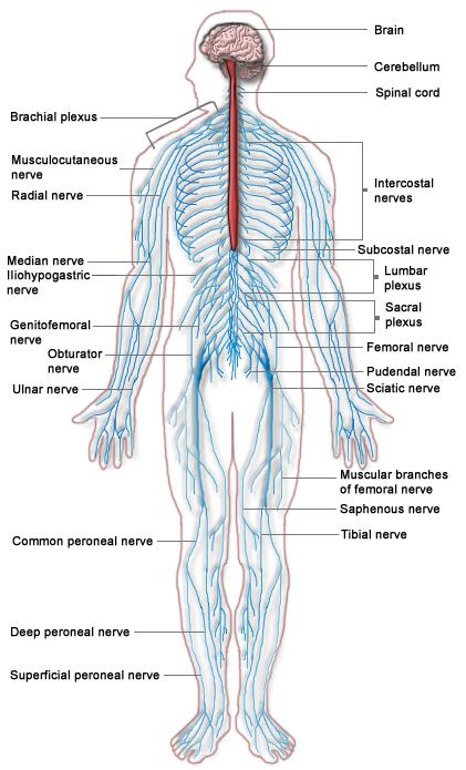 Human Nervous system image