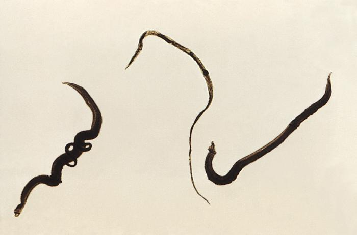 Four Schistosoma mansoni trematodes