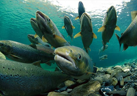 North Atlantic Salmon Conservation Organization