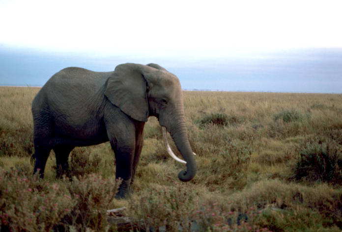 African Elephant, photo by Gary M. Stolz