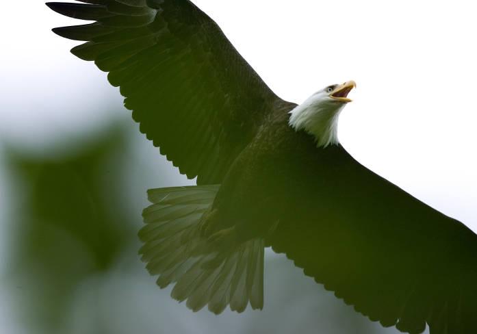 Bald Eagle, photo by Steve Hillebrand