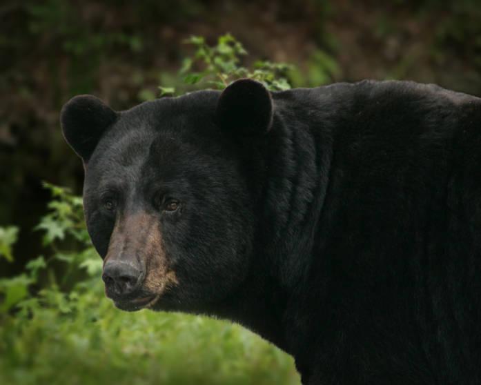Black Bear, photo by Steve Hillebrand