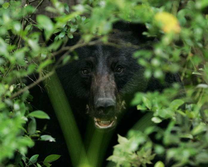Black bear in the bushes, photo by Steve Lillebrand