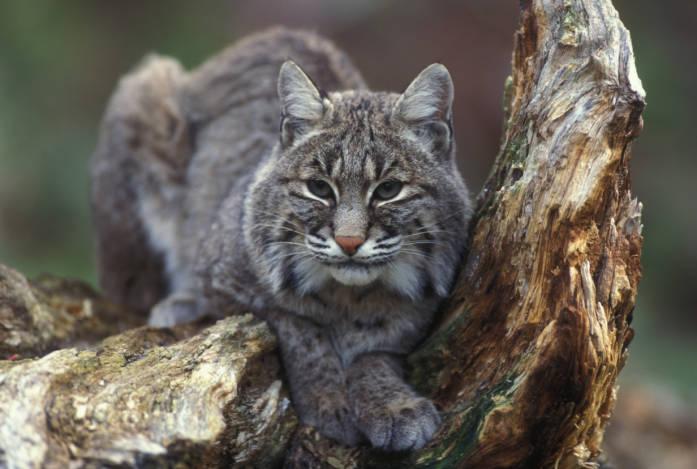 Bobcat, photo by Gary Kramer