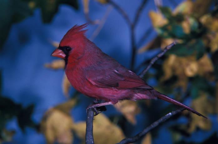 Cardinal, photo by Dan Sudia