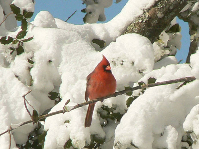 Cardinal in Pine, photo by Laura Perlick