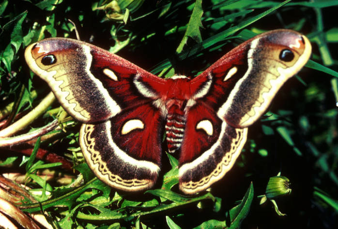 Cecropia Moth, photo by Ed Loth