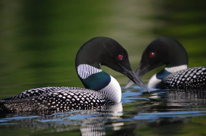 Common Loons, photo by USFWS