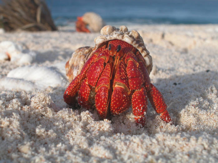 Hermit Crab, photo by USFWS