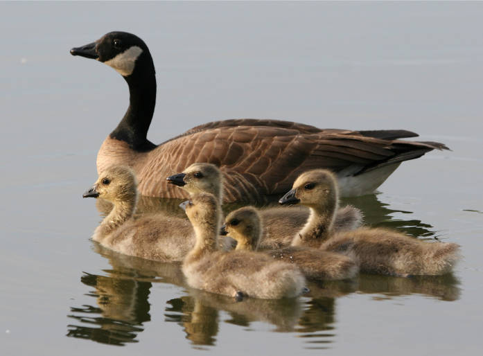 Lesser Canada Goose brood, photo by Donna Dewhurst