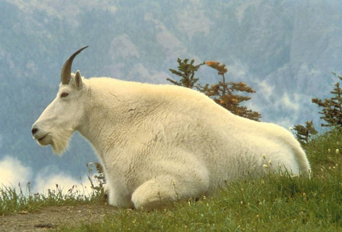 Mountain Goat, photo by Dave Grickson