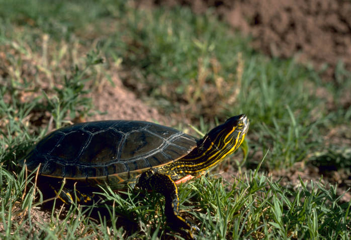 Painted Turtle, photo by Gary M. Stolz