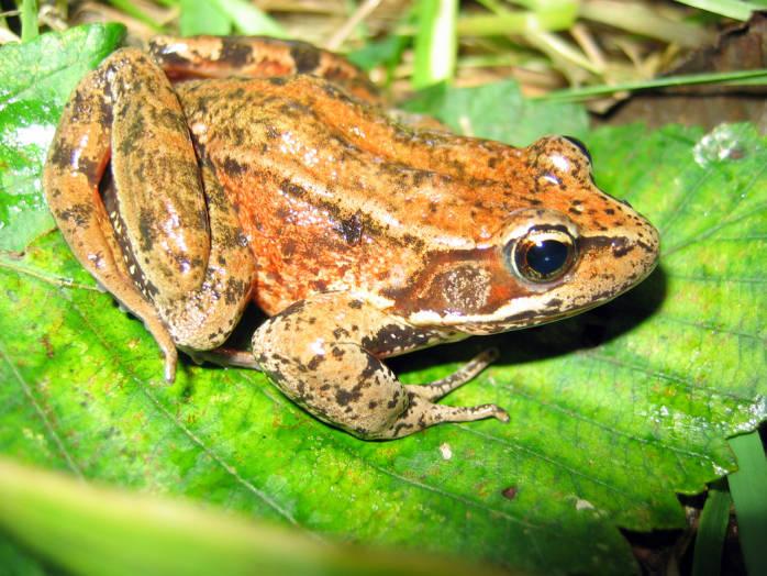 Red Legged Frog, photo by John Bettaso