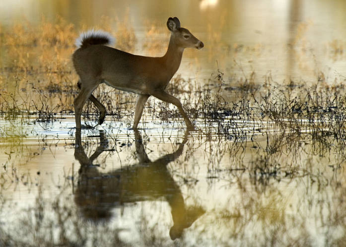 White-tailed Deer, photo by Steve Hillebrand