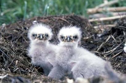 Bald Eagle chicks FWS File Photo