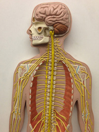 Human model showing internal structures