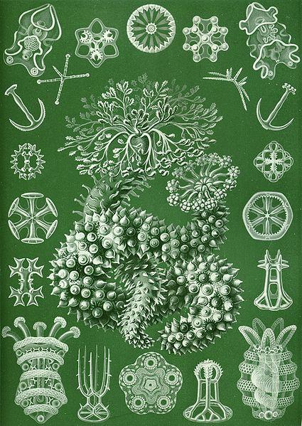 Haeckel - thuriodea