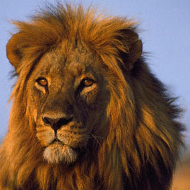Lion, Namibia, photograph by Frans Lanting, Corbis