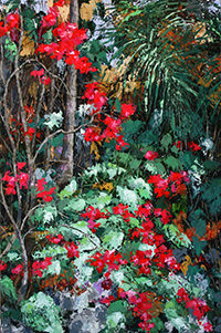 Creeping Bougainvillea by Marilyn Antram