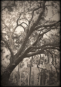 Live Oak by Thomas Hager