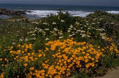 Charles Webber © California Academy of Sciences California Poppy, Eschscholzia californica