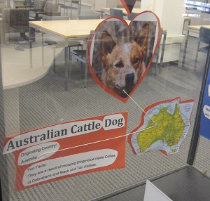 Australian Cattle Dog--photo and facts