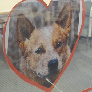 Australian Cattle Dog--picture
